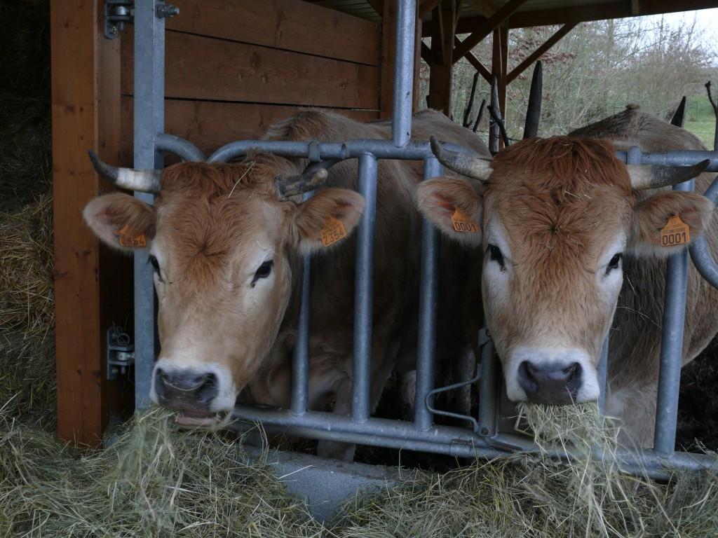 Vache race Nantaise